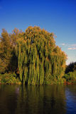 Vieille Willow Tree pleurante Photo libre de droits