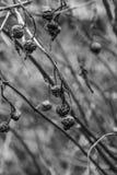 Vieilles baies sur un buisson Images libres de droits