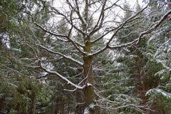 Vieilles branches de chêne couvertes par la neige Fond de l'hiver image libre de droits