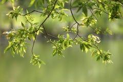 Vieilles branches et nouvelles feuilles. Images libres de droits
