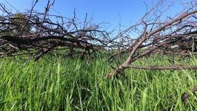 Vieilles branches sèches envahies avec l'herbe verte banque de vidéos