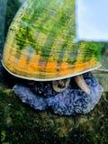 Vieilles espèces âgées de Pomacea image libre de droits
