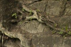 Vieilles grandes racines d'arbre sur les roches Images stock