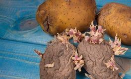 Vieilles pommes de terre putréfiées de germination sur un fond bleu Photographie stock