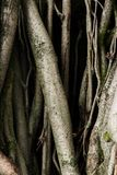 Vieilles racines d'arbre avec des sentiments effrayants de crainte de mousse verte d'ombres fonc?es image libre de droits