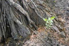 Vieilles racines d'arbre près des jeunes plantes vertes Images libres de droits