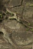 Vieilles racines d'arbre sur les roches Photo libre de droits