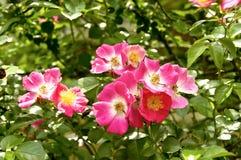 Vieilles roses de mode photo stock