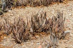 Vieilles usines d'aloès dans le désert Images stock