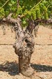 Vieilles vignes photos libres de droits