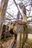 Vieilles vignes dans le vignoble de montagne avec l'élevage de mousse Photographie stock libre de droits