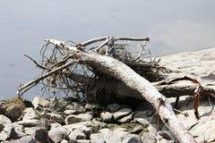 Vieillissez le tronc sec, alluvial sur le rivage du lac, épave photos stock