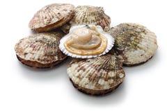 Vieiras cruas, shell aberto Imagem de Stock