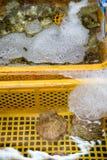 Vieiras e ostras múltiplas em cestas da água imagens de stock