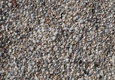 Vieiras reais das conchas do mar do tamanho pequeno Fotografia de Stock Royalty Free