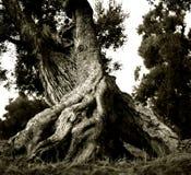Vieja aceituna rota, pero fructífera en el Apulia italiano fotos de archivo