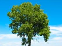 Vieja arrugada del árbol Foto de archivo