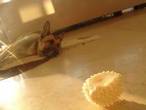 Vieja fijación del perro, cansada en el piso delante de un juguete de goma en frente fotos de archivo