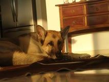 Vieja fijación del perro, cansada en el piso en una sala de estar delante de un refrigerador en una manta foto de archivo