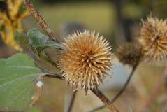 Vieja floración del girasol Fotos de archivo libres de regalías