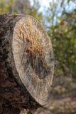 Vieja incisión de la rama del pino fotografía de archivo