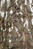 Vieja macro del fondo del primer de la corteza de abedul blanco Imagen de archivo libre de regalías
