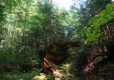Vieja raíz Foto de archivo libre de regalías