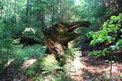 Vieja raíz Imagen de archivo libre de regalías