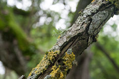 Vieja rama de árbol con el musgo Fotos de archivo
