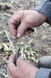 Vieja rama de Preparing Apple Tree del jardinero para injertar con KnifeGardener que prepara la rama del manzano para injertar co Foto de archivo