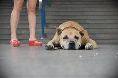Vieja reclinación del perro Imagen de archivo