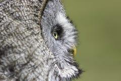 Vieja reflexión sabia del búho Fotos de archivo