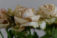 Vieja Rose Past Its Prime Viewed blanca del lado fotos de archivo
