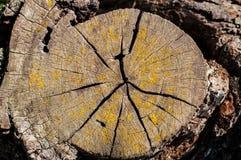 Vieja sección del tronco de árbol con el musgo Fotografía de archivo libre de regalías