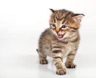 Vieja sentada linda hermosa mewoing enojada del gatito de 20 días Imagen de archivo