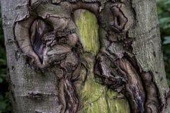 Vieja textura cubierta de musgo espeluznante agrietada de la corteza de la corteza de árbol con el bosque de la planta verde imagen de archivo