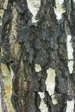Vieja textura de la corteza de abedul Fotografía de archivo