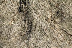Vieja textura de la corteza del ceniza-árbol Fotografía de archivo libre de regalías