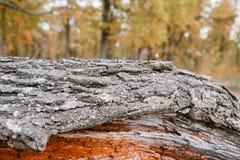 Vieja textura de madera áspera De madera Fondo Árbol grieta exótico Naturaleza Imagen de archivo libre de regalías