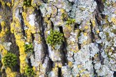 Vieja textura de madera de la corteza de árbol con el musgo verde Fotografía de archivo