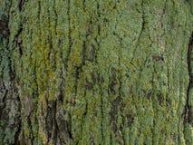 Vieja textura de madera del árbol Foto de archivo libre de regalías