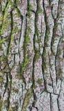 Vieja textura del extracto de la corteza del pino Fotos de archivo