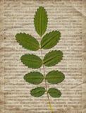 Vieja textura del periódico del vintage con la planta seca Fotografía de archivo