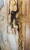 Vieja textura mouldering de madera de roble Imagen de archivo
