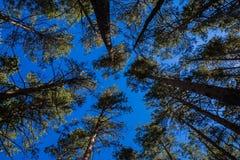 Viejas arrugadas de los árboles de pino del verano en el parque nacional de la naturaleza de Burabai, Kazajistán Imágenes de archivo libres de regalías