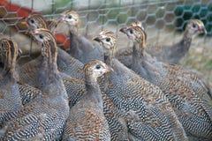 Viejas aves de Guinea de seis semanas Keets Foto de archivo libre de regalías