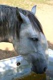 Viejas bebidas kladruby del caballo Fotos de archivo libres de regalías