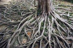 Viejas raíces Foto de archivo
