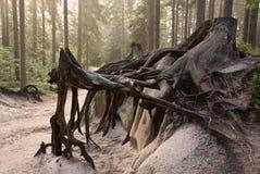 Viejas raíces Imagenes de archivo