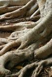 viejas raíces del árbol Fotos de archivo